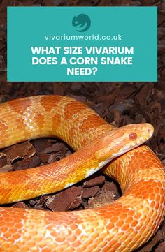 Choosing the right corn snake vivarium can be a difficult task. Read our guide to choosing the right size vivarium for your corn snake to make sure you choose a suitable snake tank for your pet. And for even more corn snake care advice, keep reading the Vivarium World blog.