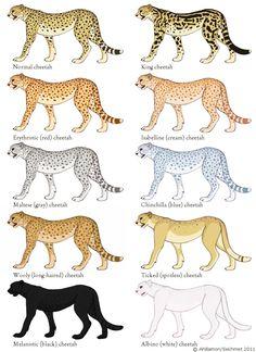 cheetah color morphs