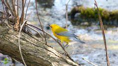 "Male Prothonotary Warbler hopped around in front of happy birders singing ""Sweet, sweet, sweet, sweet, sweet, sweet, sweet!"" as it foraged for food. Leica V-lux 3 #biggestweek https://www.facebook.com/photo.php?fbid=444659555562422=a.444659055562472.117192.355103211184724=3"