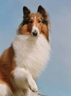 Collie adult film star can suggest
