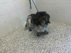 RESCUED! #A465414 Available 5/17 I am a male, gray and black Maltese and Poodle - Miniature mix. Shelter staff think I am about 2 years old. I have been at the shelter since May 12, 2014.  If I am not claimed, after my stray holding period, I may be available for adoption on May 17, 2014.  http://www.petharbor.com/pet.asp?uaid=SBCT.A465414