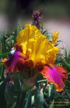 Yellow Pink Iris