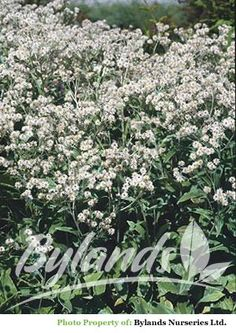 Pearly Everlasting - Anaphalis margaritacea 'New Snow' | Bylands Nurseries Ltd.