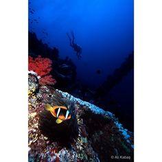 Twobar Anemonefish on Numidia wreck, Big Brother Island, Red Sea
