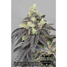 Gunslinger Strain Starfighter X Stardawg Greenpoint Seeds Bank Nicoletta Ceccoli High Times