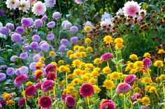 Try tearing your eyes away! Fairly easy to recreate, this planting includes 3 gaily-colored Dahlias, a caramel and gold Helenium (Sneezeweed) and the profuse sunny, fluffy pompons of False Sunflower (Heliopsis helianthoides).