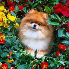 Spring has sprung and the Pomeranians are in bloom! -------------------------------------------------- This is my entry for #HelloSpringContest2016 hosted by @scottthetoller @happy__ringo @amuttyadventure We are from the USA This is my entry for #ColorfulSpringContest2016 hosted by @pupsonpar @sebastianlovesluna @stylishdog This is my entry for #sendadogphotospring contest hosted by @dog_is_family @mydiandme @gsdofig @sendadogphoto This is my entry for #meowsandwoofs50k contest hosted by…
