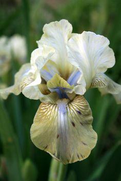 Tall Bearded Iris 'Sue Zee.'