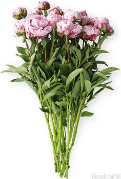 Peony Flower Care - Peony Season - House Beautiful :: how to speed up and/or slow down the blooming process!