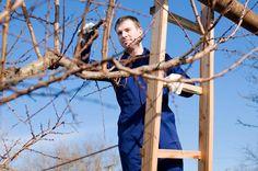 Jaké stromy a keře prořezáváme v době vegetačního klidu řez, dřevin, ovocné, stromy, okrasné, stromy, úprava, živého, plotu, Mezi půlkou listopadu a koncem března lze využít vegetačního klidu k prořezu některých dřevin.…