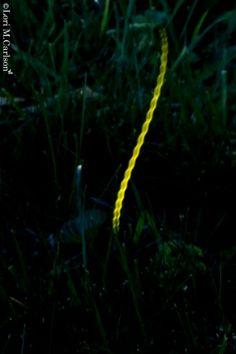 Firefly light trail