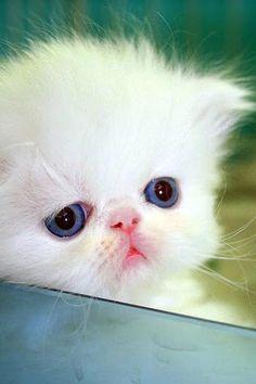 ♡ white kitten ♡