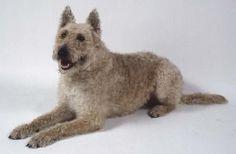 medium_belgian-shepherd-laekenois-information-and-pictures-dog-breed-info.jpg (640×420)