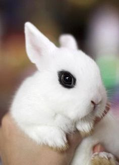 Dwarf Hotot Bunny. We just brought one home tonight and he's sooooo stinking CUTE!