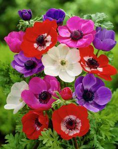 Garden anemone De Caen Group • Anemone coronaria De Caen Group • Irish anemone De Caen Group • St Brigid's anemone De Caen Group, Poppy windflower De Caen Group • Plants & Flowers • 99Roots.com