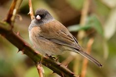 Pink-Sided Junco