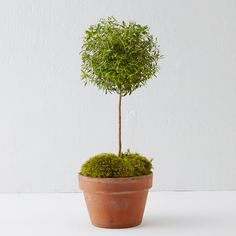 """Elegantly shaped, this myrtle topiary adds a splash of vivid green to interior spaces. Each one is cultivated for up to two years to develop a full, polished form before it arrives at your home in a weathered clay pot.- Myrtle tree, clay pot, soil, moss- Place indoors in direct sunlight and allow soil to dry slightly between waterings. Feed regularly with light fertilizer. Avoid open windows and drafts. - As new growth emerges, prune lightly to maintain shape.- Pot: 4.25""""H, 6"""" diameter- ..."""