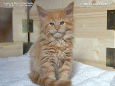 Donny of Maine Coon Castle 7 weeks old, 1374g