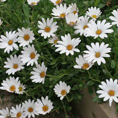 Osteospermum 'Snow Pixie' (Hardy) - Perennial & Biennial Plants - Thompson & Morgan
