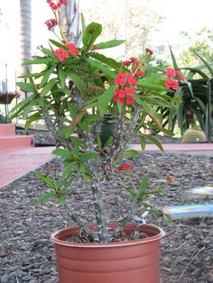 Euphorbia Milli Crown of thorns large Succulent Plant Large Succulent Plants, Planting Succulents, Agaves, Crown Of Thorns Plant, Cactus, Euphorbia Milii, Plant Care, House Plants, Wilderness