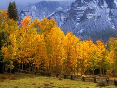 This is what the mountains look like in the fall in Colorado with these brilliant golden Aspen Trees.