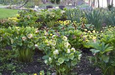 """Include some """"groundcover"""" types, meaning plants that form thick mats (but not English ivy or pachysandra or vinca!). I am partial to epimediums, European ginger, Hackonechola macra 'All Gold,' hellebores (above, in bloom), perennial geraniums of a semi-evergreen nature (like 'Biokovo' or macrorrhizum), among many."""