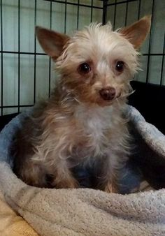 Leela is an adoptable Yorkshire Terrier Yorkie searching for a forever family near Norcross, GA. Use Petfinder to find adoptable pets in your area.