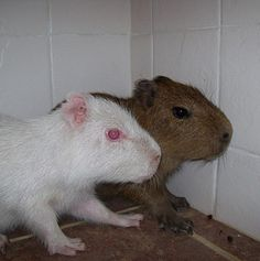 albino capybara