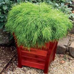 Potted Acacia cognata 'Curvaceous' (Best Australian natives for pots)