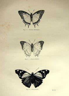 Splendide farfalle antiche stampa, 1860 vintage originale insetti incisione, piastra di lepidotteri papillon, storia naturale delle farfalle.