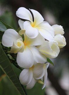 Plumeria or Frangipani Exotic Flowers, Tropical Flowers, Amazing Flowers, My Flower, White Flowers, Beautiful Flowers, Cactus Flower, Yellow Roses, Purple Flowers