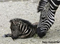 New born baby zebra pictures Belgrade Zoo, Zebra Pictures, Baby Zebra, Zebras, Cute Baby Animals, Baby Photos, Cute Babies, Wildlife, Animal Kingdom