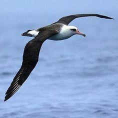 Phoebastria immutabilis (Laysan albatross)