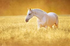 Horse Spirit Animal | Meaning