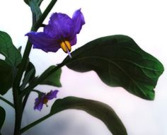 Eggplant's flowers by Francesco Spina on 500px