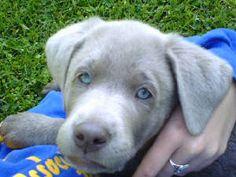 Light Silver Labrador Puppy