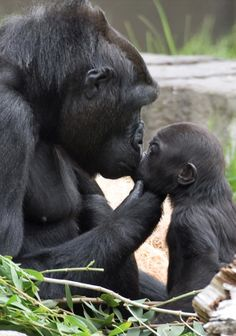 Mama & baby gorillas ~ San Francisco Zoo • photo: Marianne Hale ☛