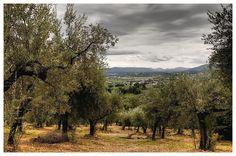 Olivi di Trevi, Umbria, Italy