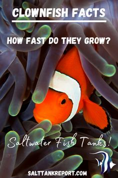 Are you keeping clownfish in your saltwater tank? Find out how fast they will grow and how big they can get! #saltwaterfish #saltwatertanks #saltwateraquariums #aquariumfish Saltwater Fish Tanks, Saltwater Aquarium, Aquarium Fish, Salt Water Fish, Salt And Water, Fishing For Beginners, Nano Tank, Clownfish, Terrariums