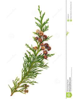 Northern cedar branch