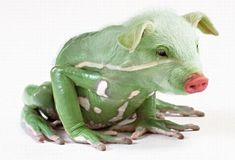 The rare pig-frog (prog? fig?). It's possible this image has been tampered with.