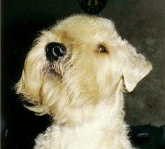 the soft irish gentlewheaten, élevage familial d' irish soft coated wheaten terriers. chiots irish soft coated wheaten terriers