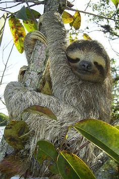 Sloths | 11 Places To See Before They're Gone #travel #nature