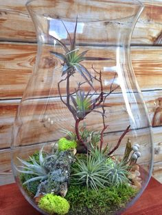 Large Easy Care Low Maintenance Air Plant by lovelyterrariums