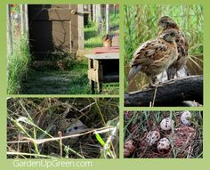 Keep Quail on the Ground in a natural environment.  104 Homestead