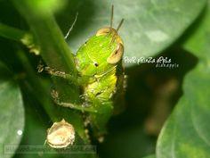 grasshopper I by https://www.deviantart.com/dianapple on @DeviantArt