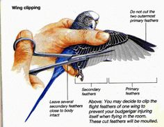 Budgies are Awesome: Wing Clipping