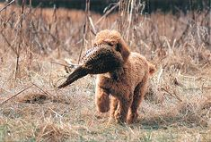 Gun Dog Breeds: Standard Poodle.  I want a retrieving pointing poodle :-)