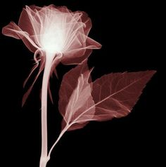 i am currently fascinated by xrays of flowers