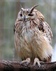 fluffed up owly-kins